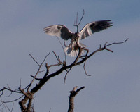 White-tailed Kite lands with Prey