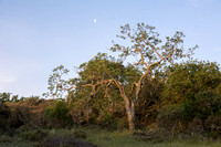Twisted Oak and Moon