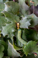 Fat Green Larva Feeds on New Buds of Leather Oak (Quercus durata durata)