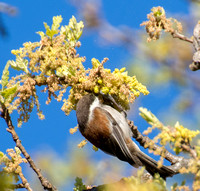 Chestnut-backed Chickadee (Poecile rufscens) Feeding in Valley Oak