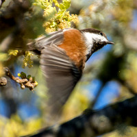 Chestnut-backed Chickadee (Poecile rufscens) in Flight