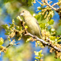 Feeding Behavior of Female Lesser Goldfinch (Carduelis psaltria)