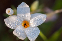 Dew-covered Flower of Common Leptosiphon (L. androsaceus)