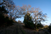 Valley Oaks near Escobar Gate