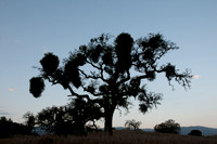 Scattering Flock, Mistletoe in Valley Oak