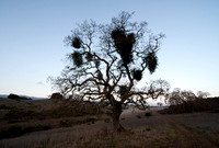 Mistletoe in Valley Oak