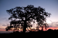 Lonely Valley Oak at Dawn