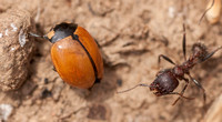 Harvester Ant with Ladybug