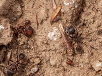 Ants with Seeds