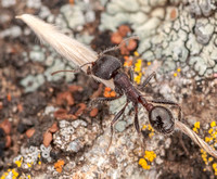 Harvester Ant (Messor andrei) with Grass Seed
