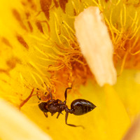 Acrobat Ant Digs Into Yellow Mariposa Lily