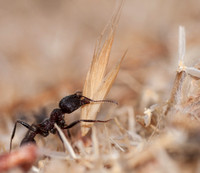 Harvester Ant (Messor andrei) with Seed