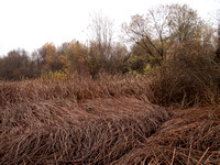 Reeds & Trees