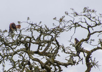 Red-tailed Hawks in Valley Oak -- View of Tail