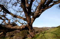 Windy Hill from beneath the Lonely Oak