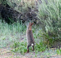 Brush Rabbit (Sylvilagus bachmani) Stretches Up for a Nibble
