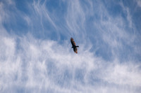 Soaring Turkey Vulture & Whispy Clouds