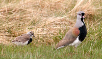 Immature & Mature Southern Lapwings (Vanellus chilensis)