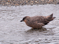 Skua Bathing
