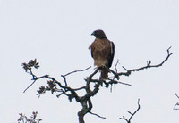 Red-tailed Hawk (Buteo jamaicensis) Keeping Watch