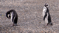 Preening Penguins