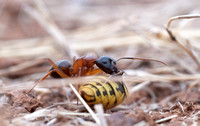 Carpenter Ant (Camponotus sp) with Yellowjacket Wasp Abdomen