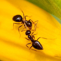 4/5/2013 Winter Ants on Mule Ears
