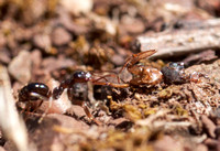 Formica Ant Pulls Larger Dead Ant