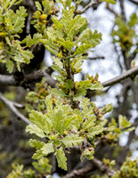 New Leaves and Catkins of Lone Valley Oak (Quercus lobata)