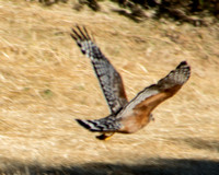 Red-shouldered Hawk (Buteo lineatus) in Flight
