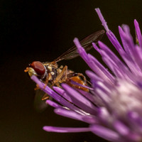 Bee-fly on Thistle