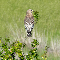 Red-shouldered Hawk (Buteo lineatus) in Frog Pond