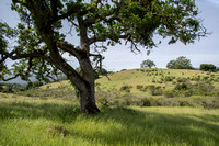 Pastoral Scene with Valley Oaks and Chaparral