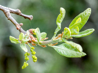 New Leaves and Catkins of Blue Oak (Quercus douglasii)
