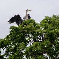 Male Great Blue Heron (Ardea herodias) Lands in Oak