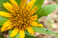 Winter Ants Swarm on Mule Ears Flower
