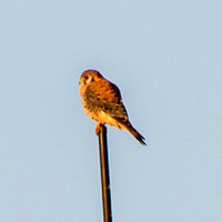 American Kestrel (Falco sparverius) on Radio Antenna (Detail)