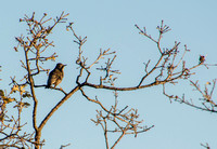 American Robin (Turdus migratorius) in Valley Oak