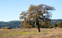 Lone Valley Oak (Quercus lobata) & Windy Hill