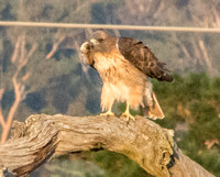 Red-tailed Hawk (Buteo jamaicensis) Hunches