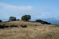 Tarweed, Grasslands, Oaks, Windy Hill: Clearing Fog