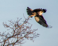 Red-tailed Hawk (Buteo jamaicensis) Takes Off