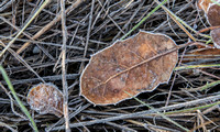 Frost-bedecked Leaves