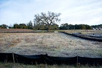 Grassland Experiment with Valley Oak