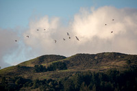 Gulls and Windy Hill