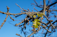 New Leaves on Valley Oak (Quercus lobata)