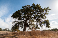 Lone Valley Oak at Midday