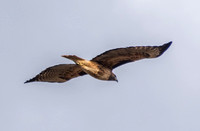 Red-tailed Hawk (Buteo jamaicensis) Whispers By