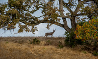 Buck with Valley Oak and Toyon