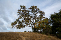 Valley Oak (Quercus lobata) with Toyon (Heteromeles arbutifolia)